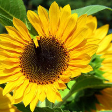 Chat-E on 'how tall is your Sunflower?'