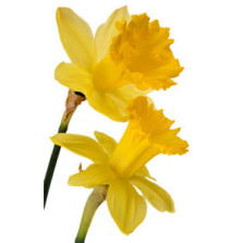 Competition – how many daffodils have bloomed?