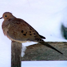 Demise of The Turtle Dove!